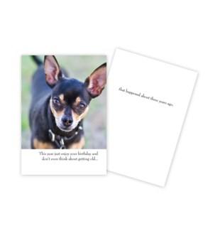 BD/Chihuahua