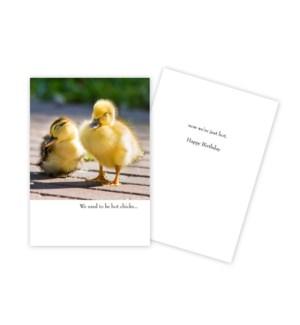 BD/Baby Chicks
