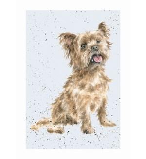 BL/Yorkshire Terrier
