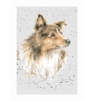 BL/Rough Collie / Sheltie